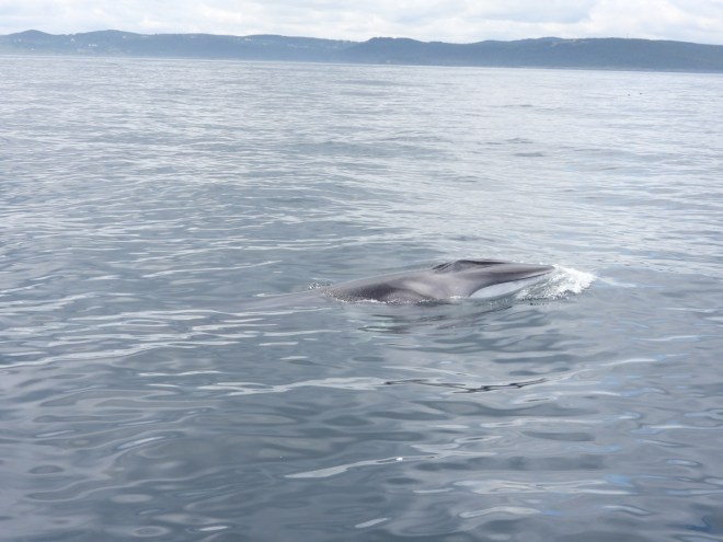 A fin whale calf raises its head above water. Photo by Jeannine Winkel.
