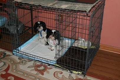 Hamlet And Ophellia Love The Puppy Apartment I Don T Even Have To Make Them Get In It They Just Go With Snap Of My Fingers