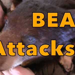 bear attacks!