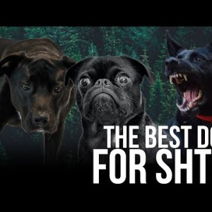 What's the Best Dog Breed for SHTF? | Bear Independent