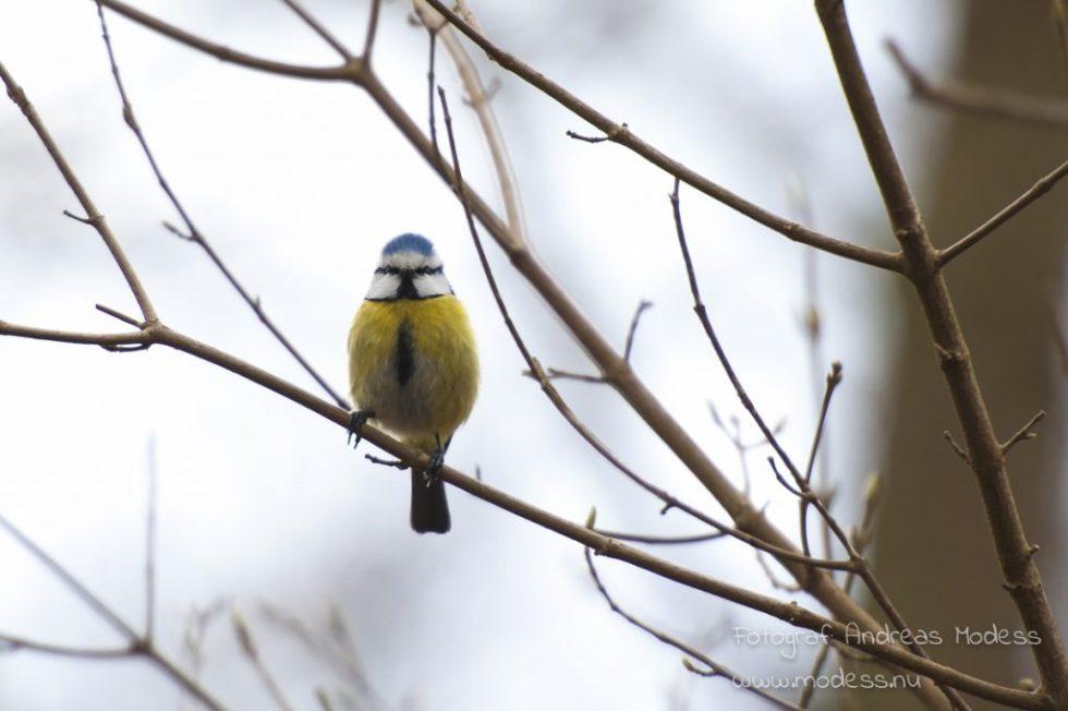 fototriss-fåglar-blåmes