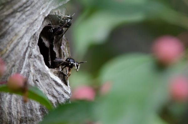 A large Black wasp emerges from a nest in the branches and leaves of a tree.