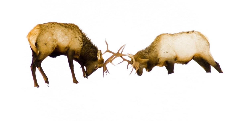 Two elk with large antler racks spar in the snow near Baker City, Oregon, USA.