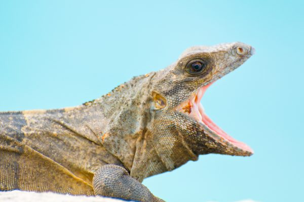 A large iguana yawns while looking at the camera. The pink of the reptile's mouth and jaw are visible against the blue background of the sky, and detail on the animal's scales is clearly visible in this macro photo.