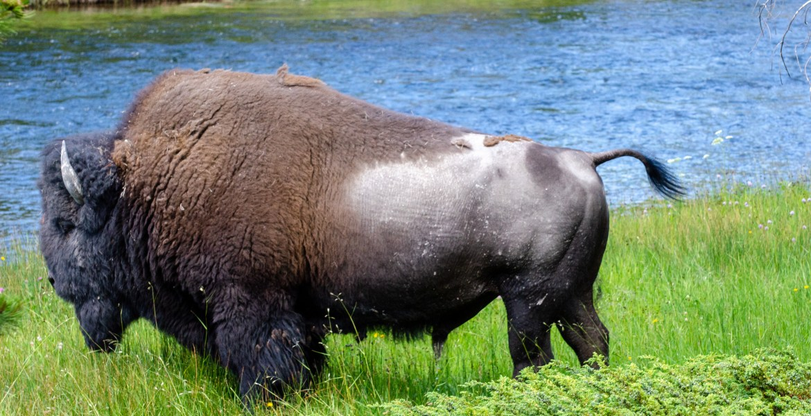 A photo of a large American Bison standing among trees and dense foliage inside Yellowstone National Park, Wyoming.