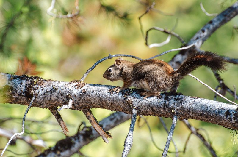 A common ground squirrel runs across a branch of a Ponderosa Pine Tree at Lake Cascade State Park, Idaho.