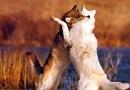 Dvaja vlci
