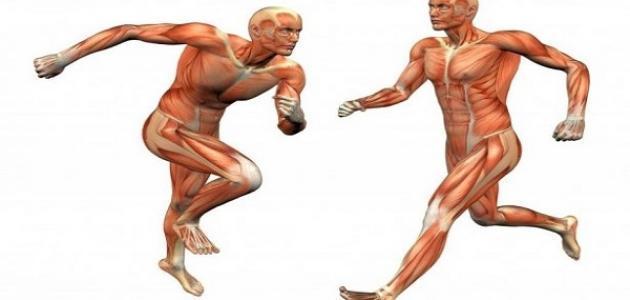 بحث حول العضلات موضوع