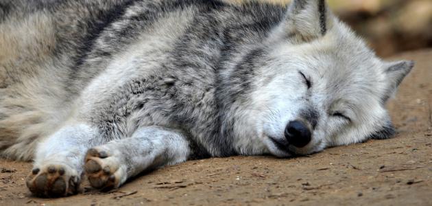 كيف ينام الذئب موضوع