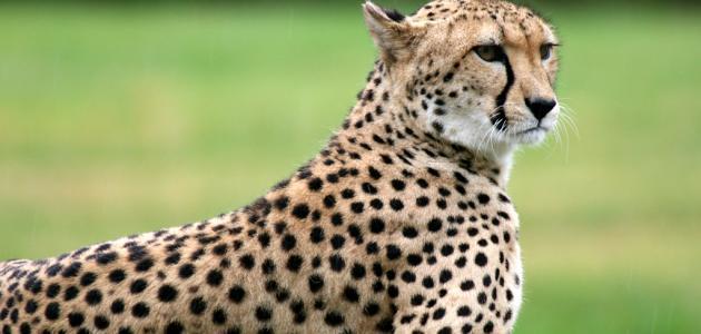 الفرق بين النمر والفهد موضوع
