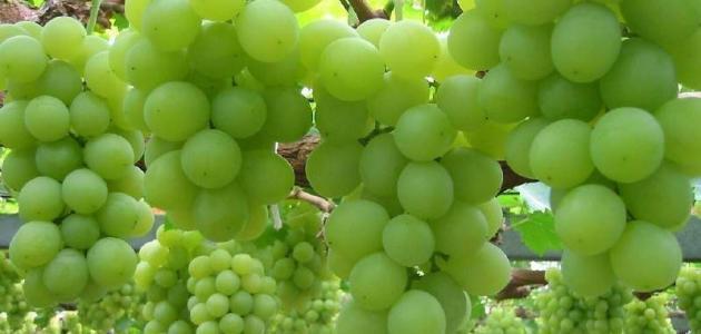 نتيجة بحث الصور عن تعرف على فوائد العنب الاخضر للجسم البشري