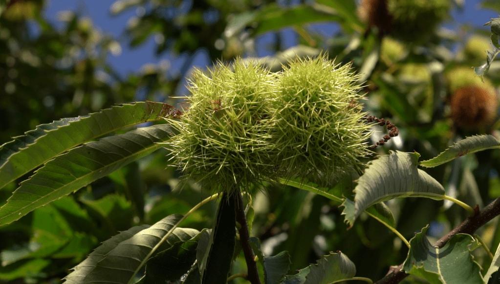 Abade acollerá o 18 de outubro un curso sobre plantacións de castiñeiro para froito