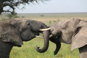 Olifanten-verliefd