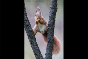 rode eekhoorn2