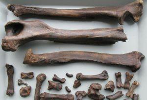 Beren fossiel - Wim Kuijper