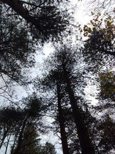 Hollandse Duinen - Bomen