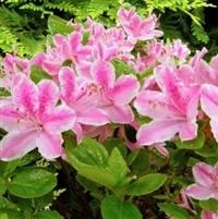 Rhododendron Kermesina Rose