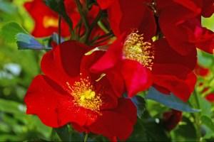 Bunddække rose