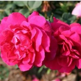 rose Black berry Nip