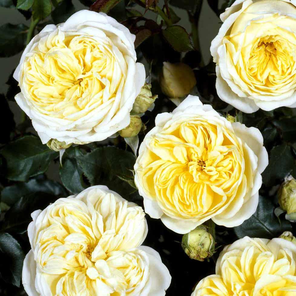 Rosa Kronprinsesse Mary