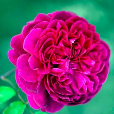 Rosa Wiiliam Shakespeare