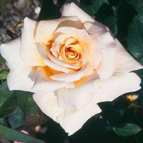Rosa Penny Lane