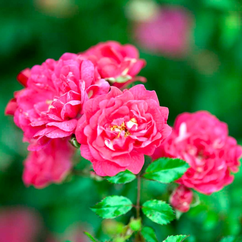 Rosa Red Fairy