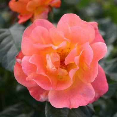Rosa Westerland