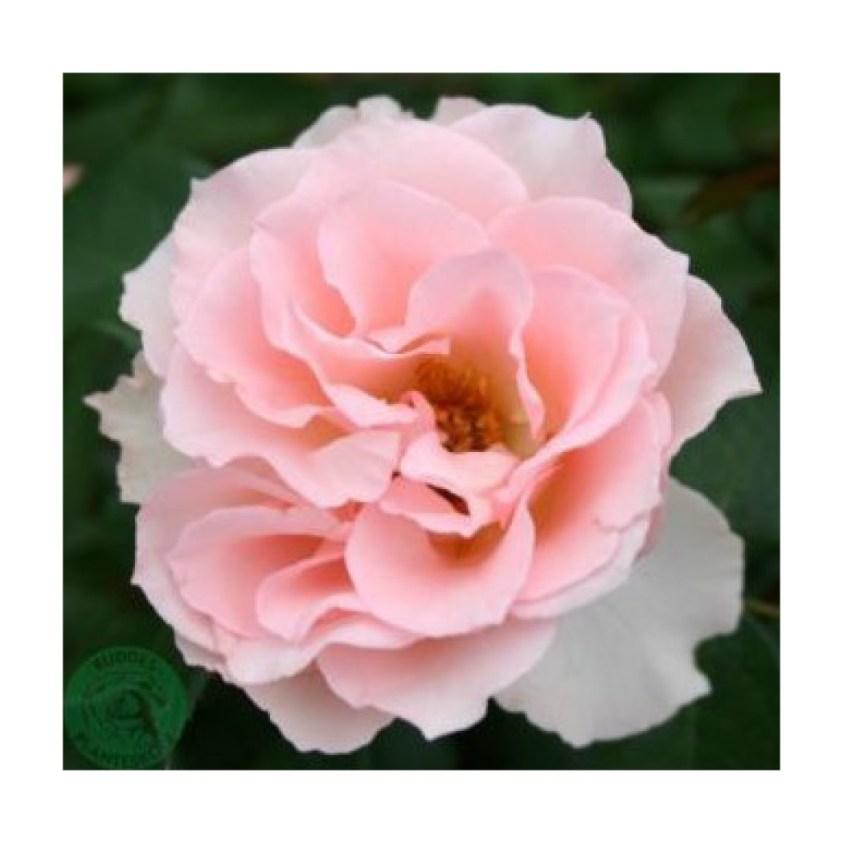 Ingeborg`s rose