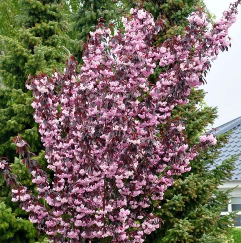 Prunus Serrulata Royal Burgundy Japansk prydkirsebær