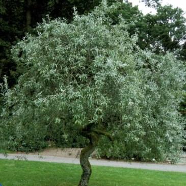 Pyrus Salicifolia Pendula Pilebladet pære