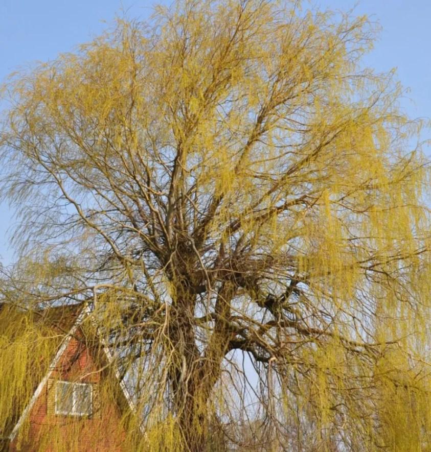 Salix Alba Tristis Guldhængepil