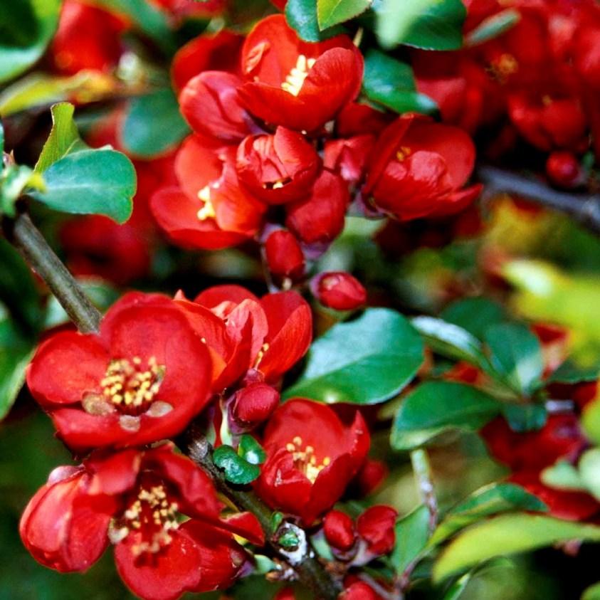 Chaenomeles Superba Crimson and Gold