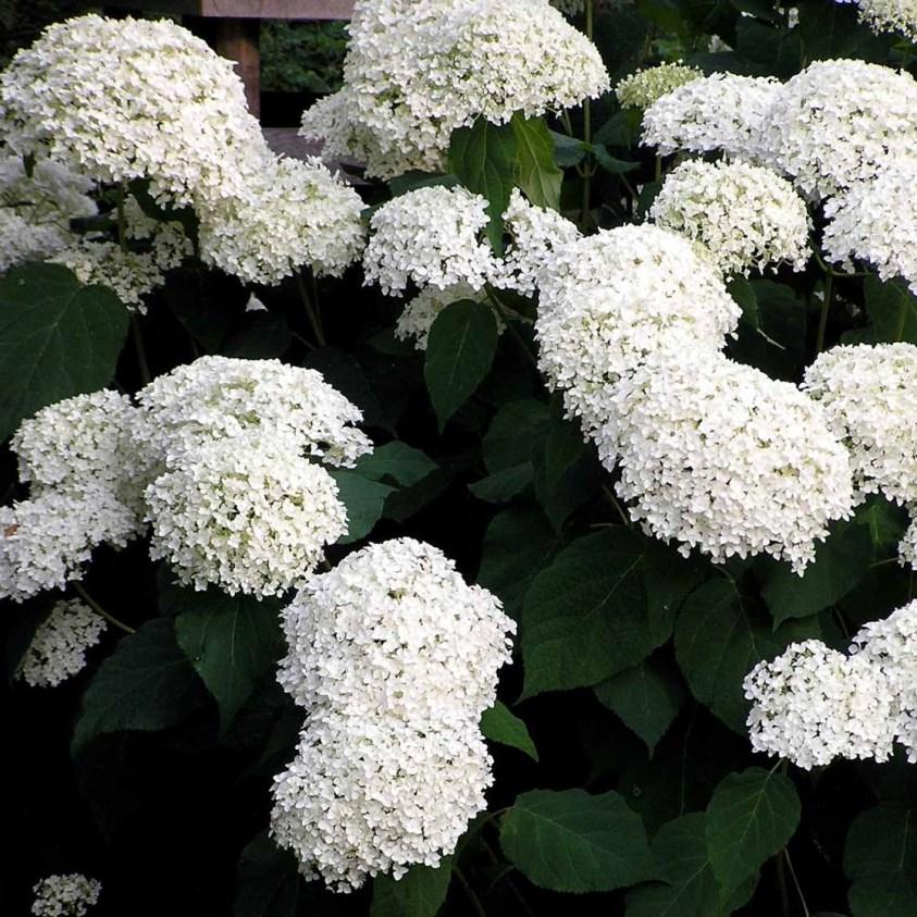 Hydrangea Macrophylla Annabelle