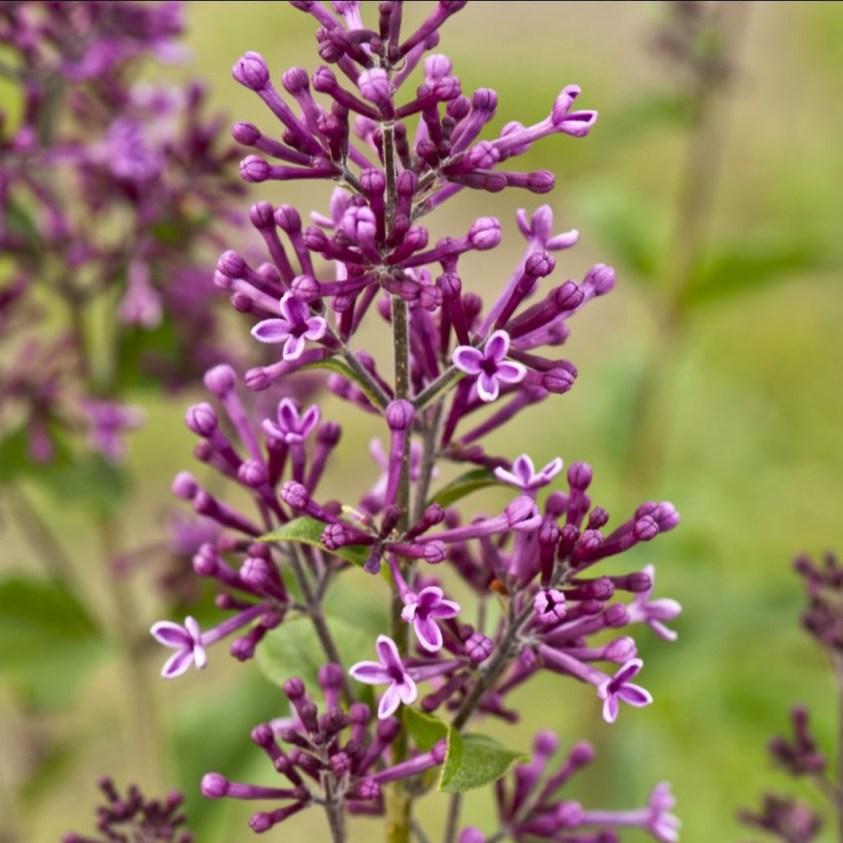 Syringa Dark Purple Bloomerang