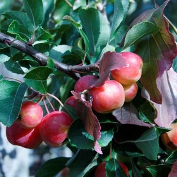Frugttræer og bærbuske