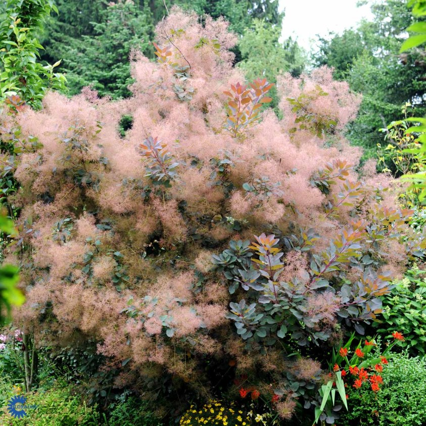 Cotinus Coggygria Grace Parykbusk