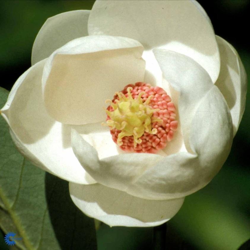 Magnolia Sieboldi Magnolia