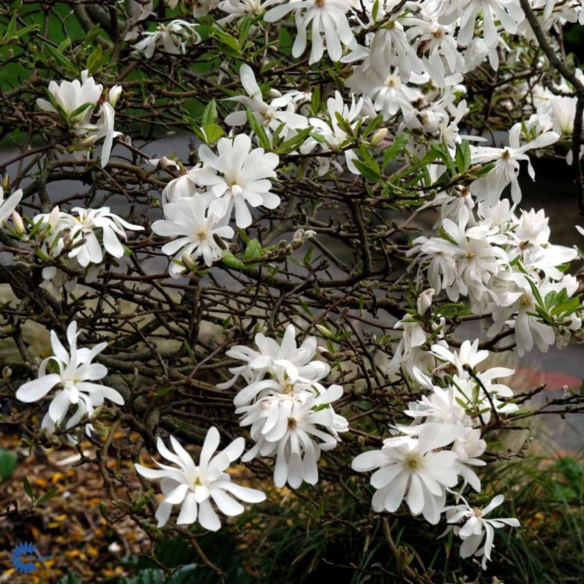 Magnolia Stellata Stjernemagnolie