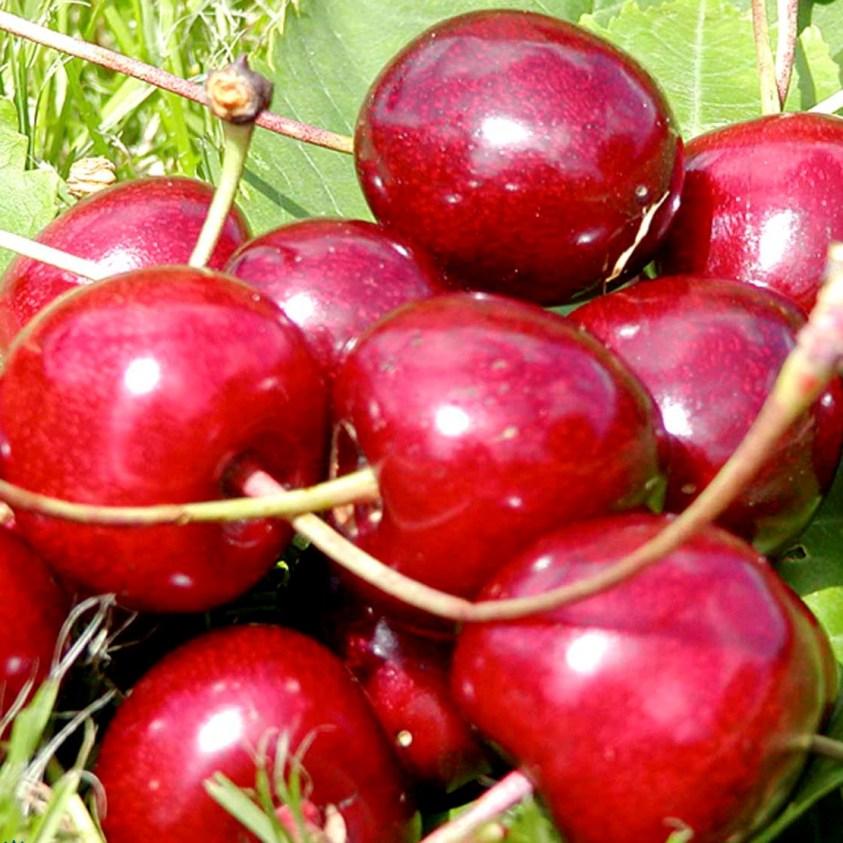 Prunus Avium Sam Surkirsebær