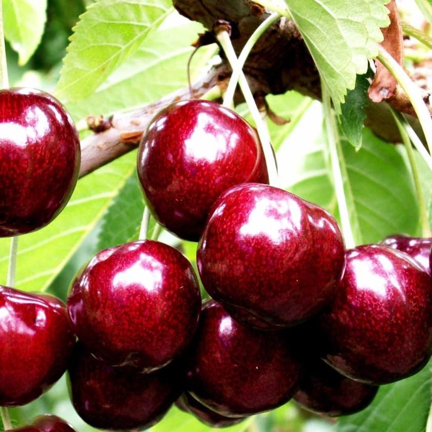Prunus Avium Skeena Sødkirsebær