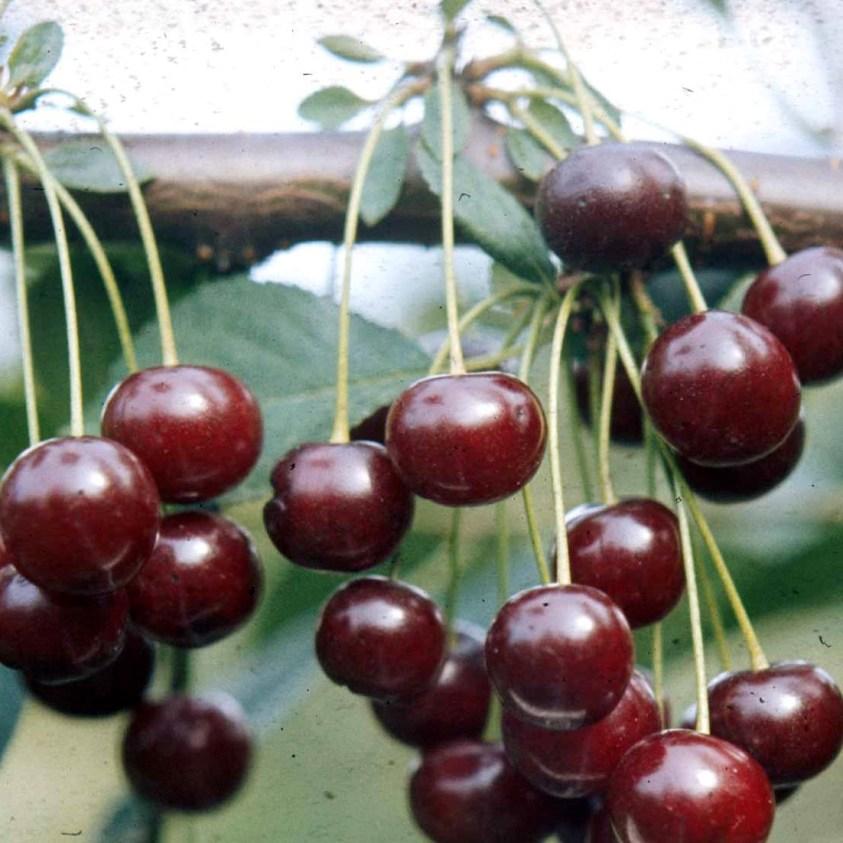 Prunus Cerasus Stevnsbär Surkirsebær
