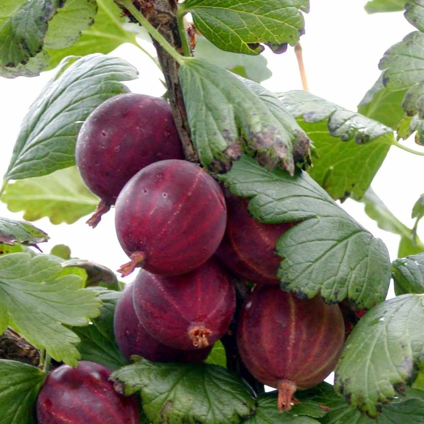 Ribes Uva Crispa Hinnonmaki Rød Stikkelsbær