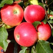Malus Domestica Discovery Æbletræ Discovery