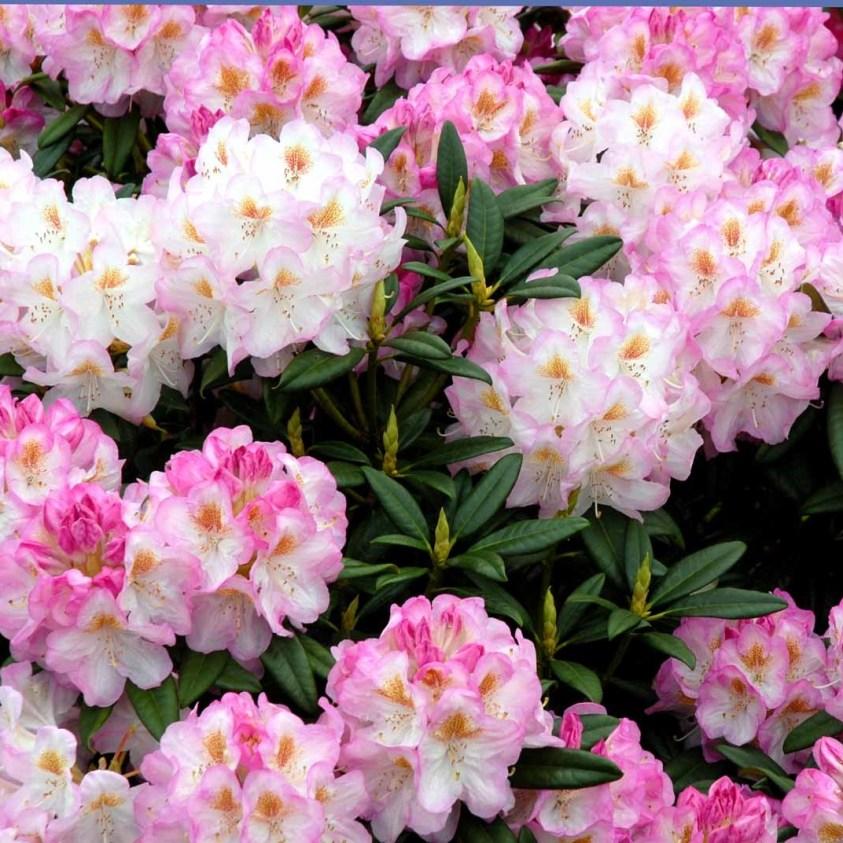 Rhododendron Birgitte