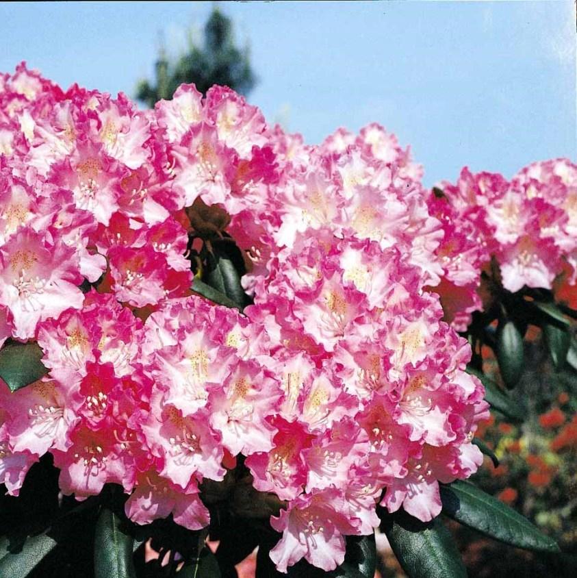Yakushimanum Rhododendron Kalinka