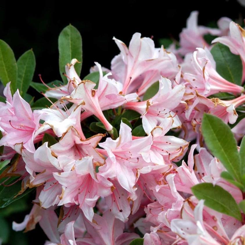 Rhododendron Soir de Paris