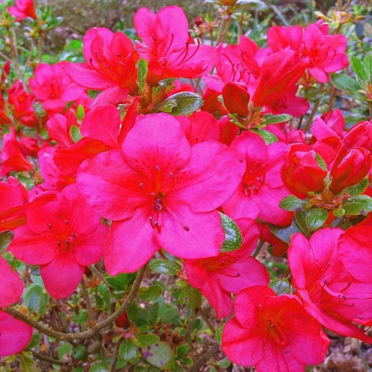 Rhododendron Little Red