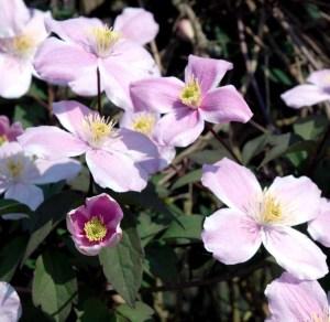 Clematis Montana Pink Perfection