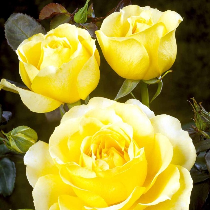Tivoli 150 rose